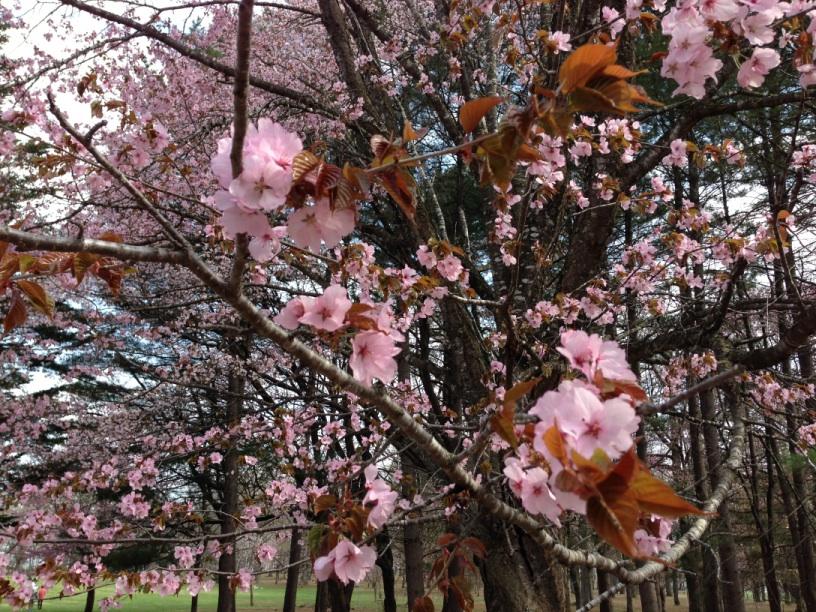 桜の花の近影
