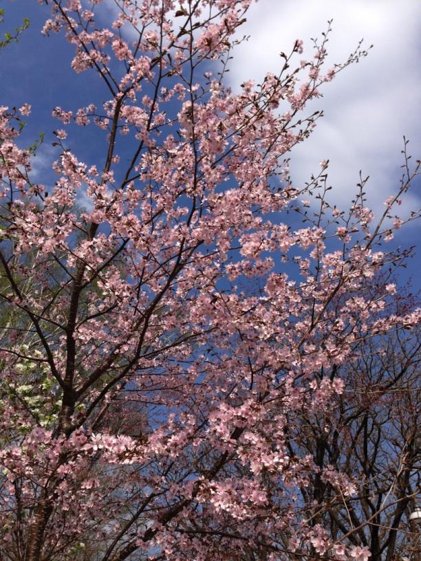空が綺麗で桜も綺麗